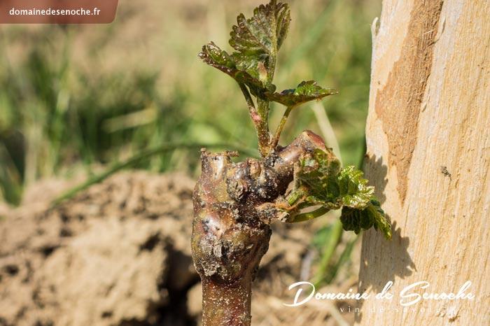 Quand la végétation démarre, des bourgeons éclosent un peu partout sur le cep.